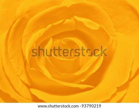Yellow rose petals close up for background