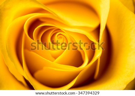 Yellow rose petals closeup. Yellow Rose.