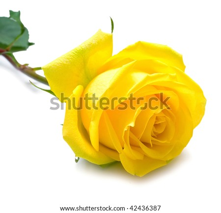 Yellow rose with green leaves. Isolation on white background. Shallow DOF - stock photo