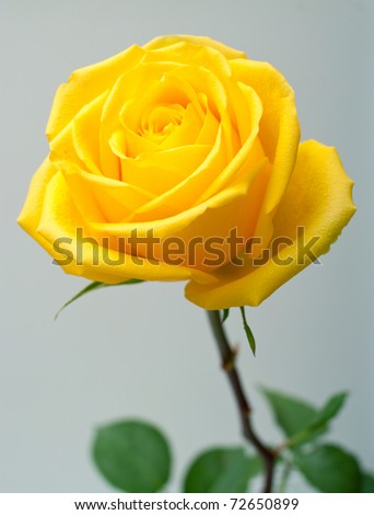 Yellow rose with green leaves on grey background. Shallow DOF - stock photo