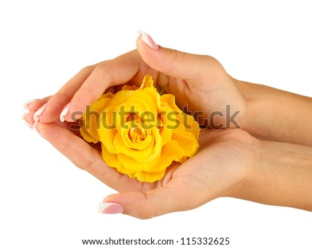 Yellow rose with hands on white background - stock photo