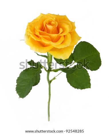 Yellow rose with leaves isolated on white - stock photo