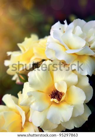 yellow roses  background - stock photo