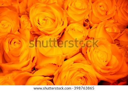 Yellow roses background. Toned photo. - stock photo