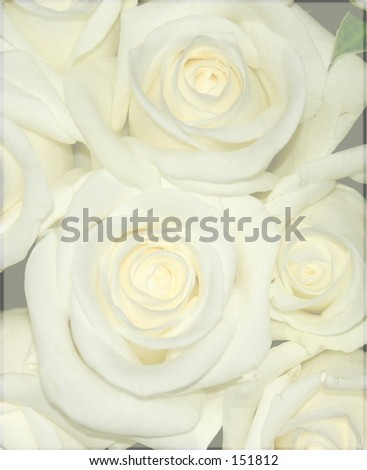 Yellow roses, faded. - stock photo