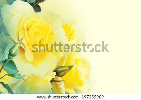 Yellow roses in the garden  - stock photo
