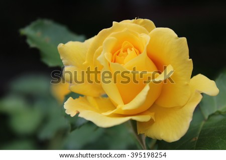 Yellow roses meaning bright cheerful joyful stock photo image yellow roses meaning bright cheerful and joyful create warm feelings and provide happiness they mightylinksfo