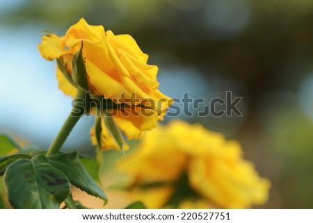 Yellow roses on sunny  - stock photo
