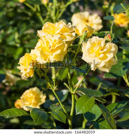 Yellow roses on the Branch in the Garden - stock photo