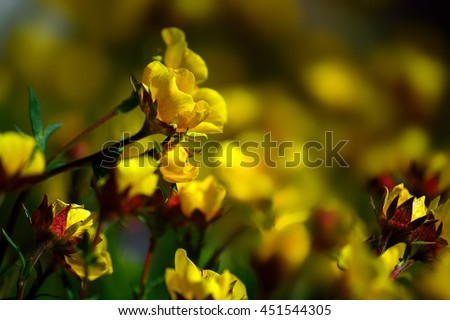 Yellow Ross Alpine Aven Wildflower Flower Plant Blooms - stock photo