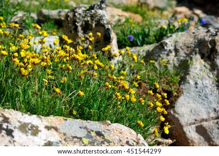 Yellow Ross Alpine Aven Wildflower Flower Plant Blooms with Rocks - stock photo