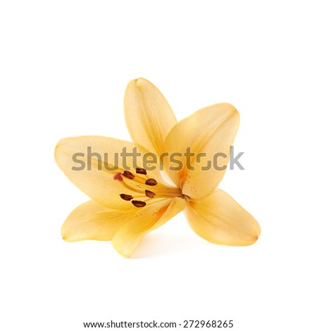 Yellow royal trinity lily lilium isolated over the white background - stock photo