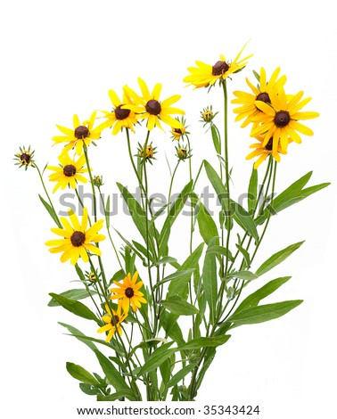 yellow rudbeckia on white background