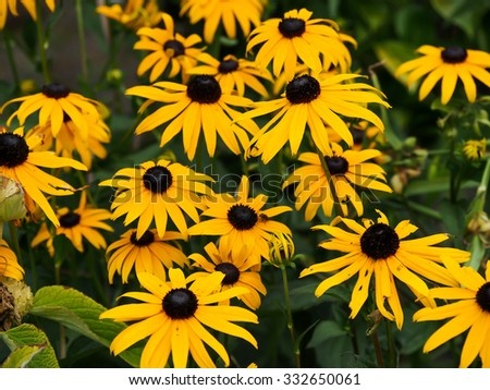 yellow rudbeckia or Black Eyed Susan flowers in the garden - stock photo