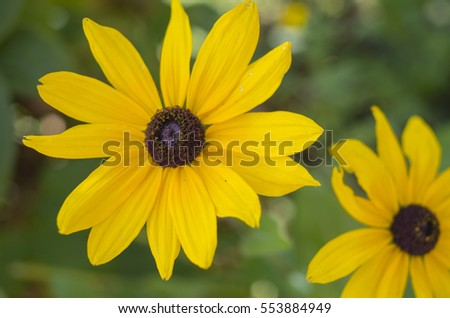 Yellow Rudbekia flower on green background.