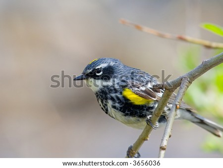 Yellow rumped warbler - stock photo