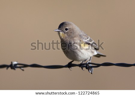 Yellow-rumped Warbler on barbed wire