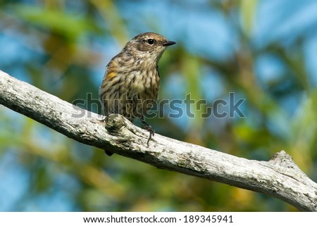 Yellow-rumped Warbler perched on a branch.