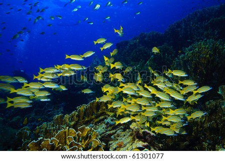 Yellow runner school fish swimming - stock photo