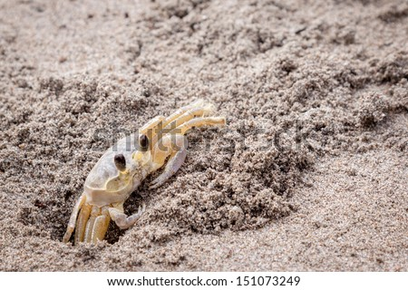 Yellow sand crab digging - stock photo