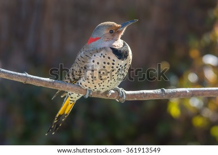 Yellow-shafted female Common Flicker warming in the morning light. - stock photo