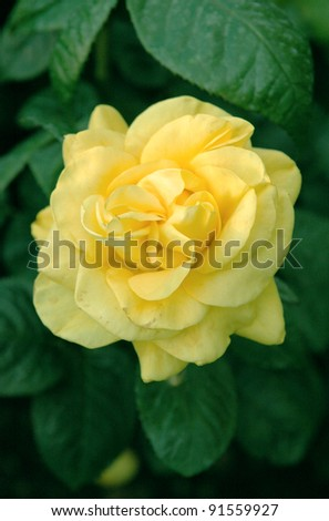 Yellow shiny flowers of Rosa Golden Wedding - stock photo