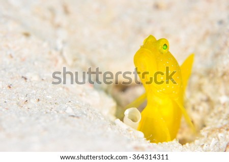 Yellow shrimpgoby