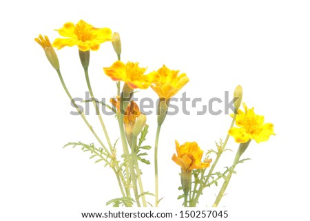 Yellow signet marigold flowers isolated on white - stock photo