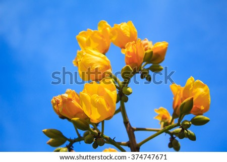 Yellow silk cotton tree flowers on blue sky