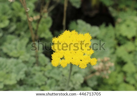 "Yellow ""Silver Mugwort"" flowers in St. Gallen, Switzerland. Its Latin name is Tanacetum Argenteum (Syn Chrysanthemum Argenteum), native to Minor Asia. - stock photo"