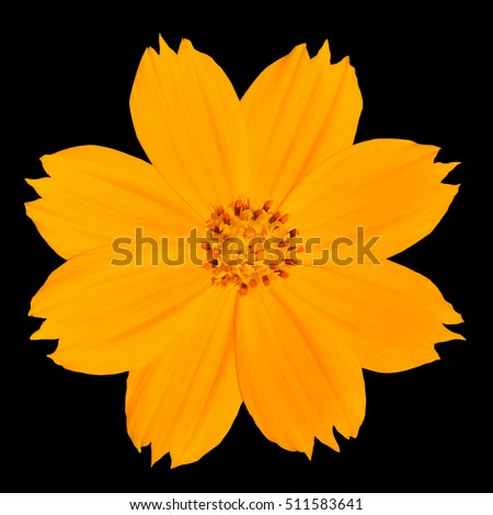 Yellow Singapore Daisy Wildflower Flower Isolated on Black Background