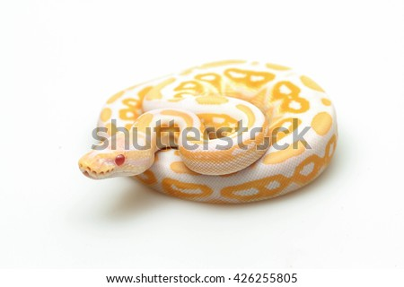 yellow snake. white snake. red eye snake. python snake. baby python snake . snake on white back ground. Purple Albino Ball Python on white background. - stock photo
