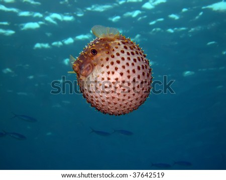 Yellow spotted burr fish. (Cyclithys spilostylus) - stock photo