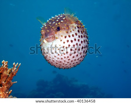 Yellow spotted burrfish. (Cyclithys spilostylus) - stock photo