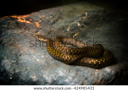 Yellow-spotted kell back snake (Xenochrophis sanctijohanis). - stock photo