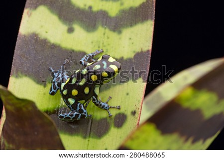 yellow spotted poison dart frog, Ranitomeya vanzolinii from the tropiacal amazon rain forest of Peru - stock photo