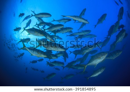 Yellow-spotted Trevally fish school - stock photo