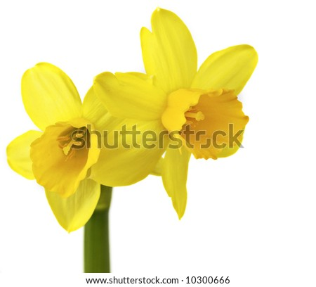 yellow spring daffodils against white background