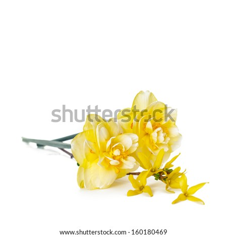Yellow spring Daffodils with forsythia on white background. Selective focus. - stock photo