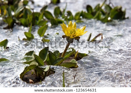 Yellow spring flower close-up rising from the ice - stock photo