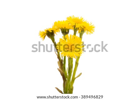yellow spring flower isolated on white background