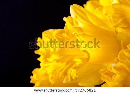 Yellow spring narcissus. Shallow depth of field. Selective Focus.