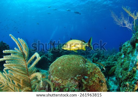Yellow Striped Grunt, Grand Cayman - stock photo