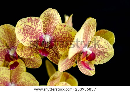 Yellow striped orchid #2 - stock photo