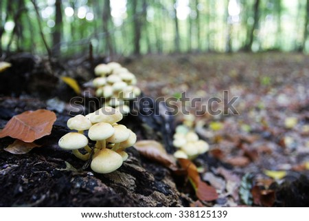 yellow stump mushrooms in forest