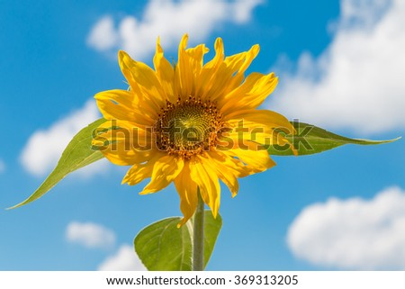 yellow sunflower against a blue sky with some clouds - stock photo