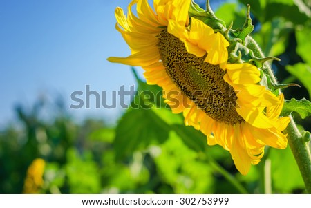 Yellow sunflower against the blue sky and green field - stock photo