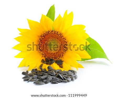 Yellow sunflower and sunflower seeds on a white background - stock photo