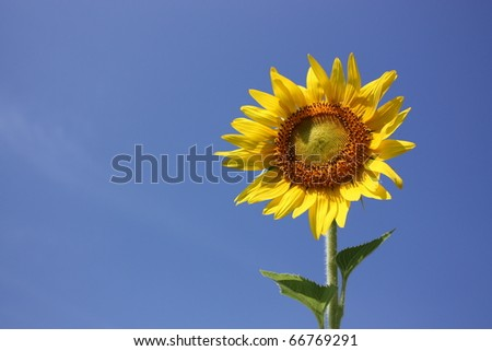 yellow sunflower bloom in blue sky