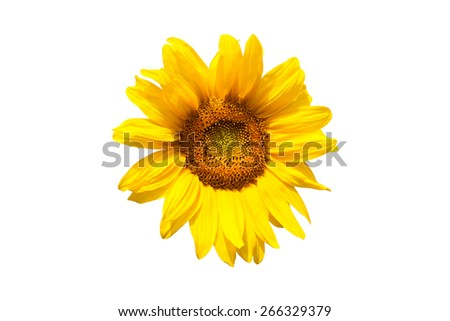 yellow sunflower bloom in the village in the garden - stock photo